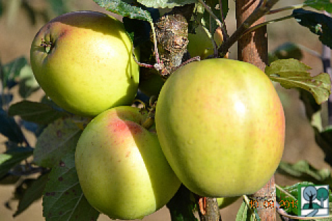 Malus Madame Collart